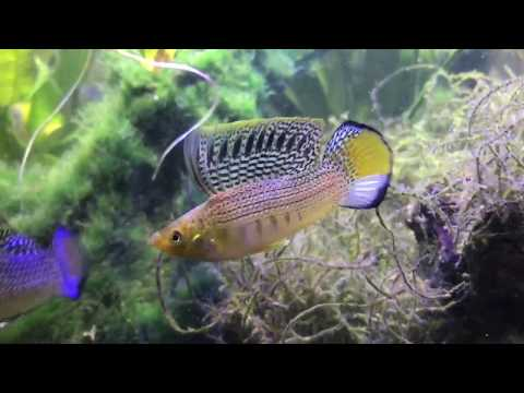 Sailfin Mollies Morning Routine