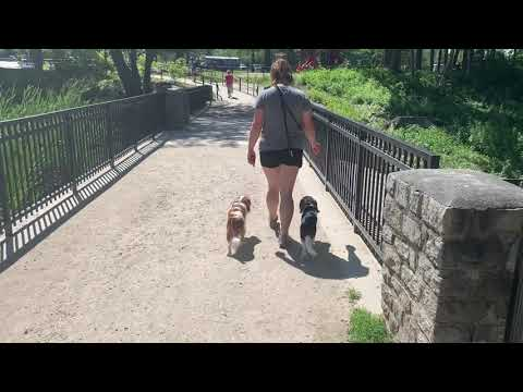 Boston Dog Trainers / Chestnut Hill Dog Trainers - 6 Month Old Cavaliers, Finn Buddy!