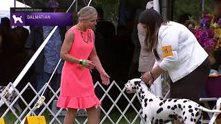 Dalmatian | Breed Judging 2021