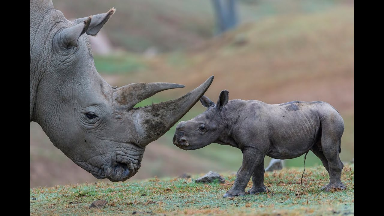 Southern White Rhino Calf Explores New Habitat - YouTube Rhinoceros Baby