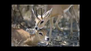 Карнавал Животных (антилопа)