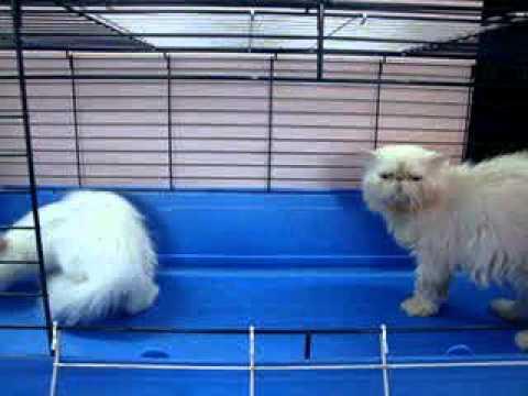 قطط للبيع للبيع قطط صور قطط همالاي شيرازي www.3rabpet.com