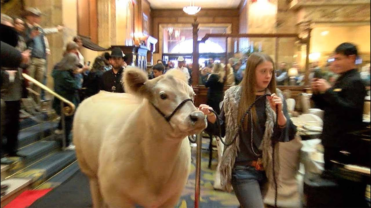 Grand Champion steer graces lobby of Brown Palace hotel