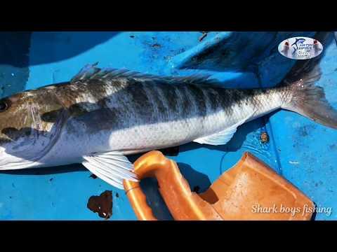 உயிர் மீன்களை பயன்படுத்தி மீன் பிடித்தல்|Fishing Using Live Fish