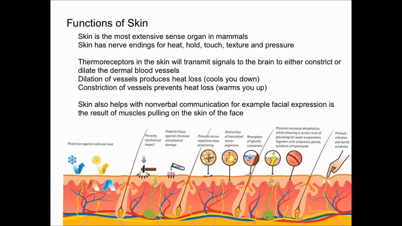 Functions of the Skin - YouTube