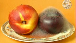 Rhizopus stolonifer eating a plum and nectarine