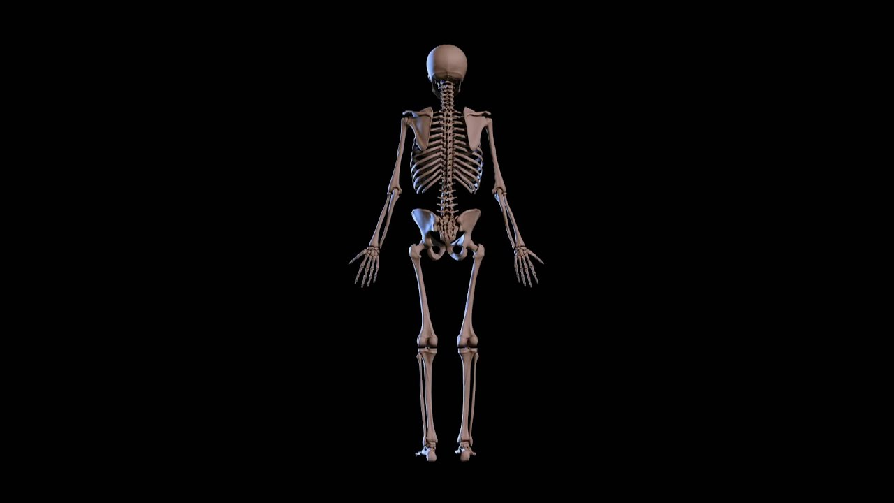 SKELETAL SYSTEM 3D MODEL YouTube – Chapter 5 Skeletal System Worksheet Answers