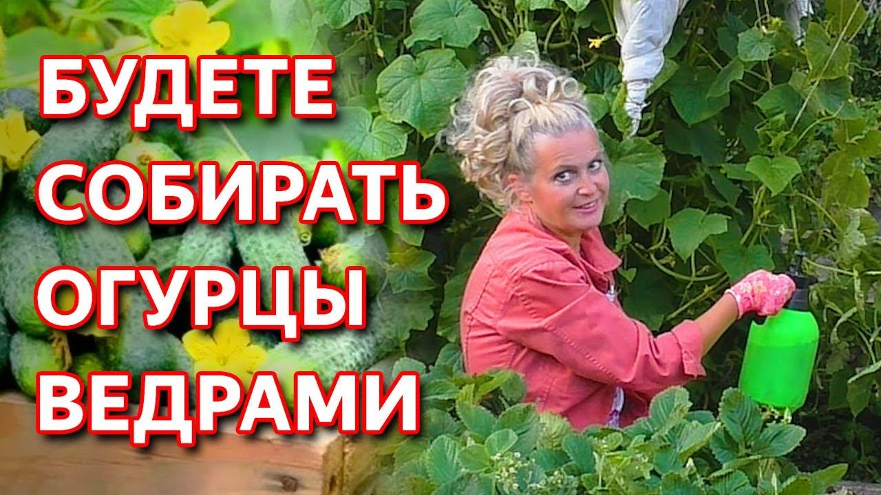 Как усилить плодоношение огурцов в августе и спасти от пероноспороза. Как лечить мучнистую росу.