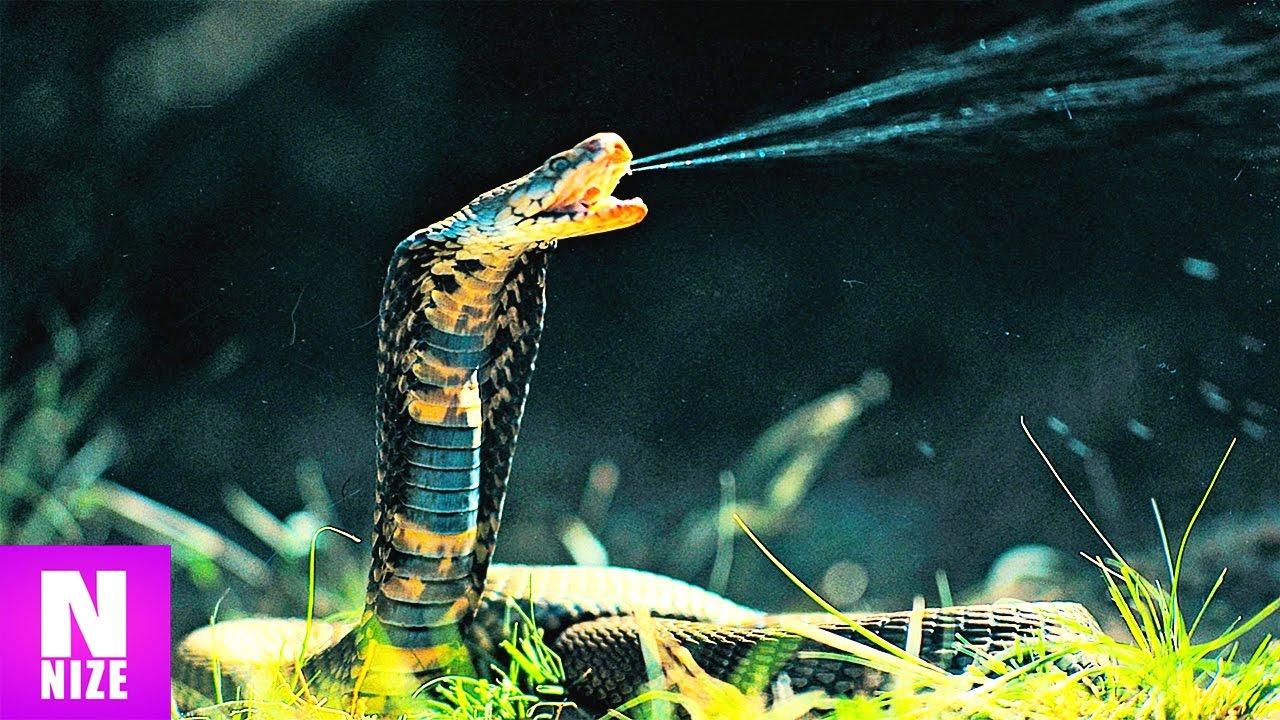 Giftigste Schlangen Der Welt Top 10