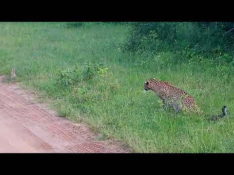 Leopard hunting a rabbit in Yala National Park