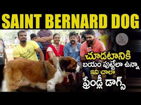 Saint Bernard Dog | Friendly Dog for Home | Hyderabad Dogs Park | Pet Lovers |Eagle Media Works