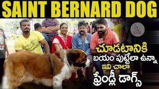 Saint Bernard Dog   Friendly Dog for Home   Hyderabad Dogs Park   Pet Lovers  Eagle Media Works