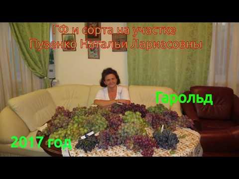 Виноград  Гарольд- роскошный мускат и высокое сахаронакопление! (Пузенко Наталья Лариасовна )