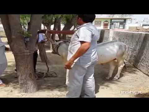 Castration of bull
