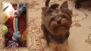 Как подстричь ушки йоркширскому терьеру дома. Лучшая игрушка для собаки!(Мой плей-лист про йорка Алинку: https://www.youtube.com/playlist?list=PLUQNYxPXVlU1YSp4YSJE59Sz4AEnefMhy Плей-лист о Сеуле: ..., 2015-12-18T13:28:05.000Z)