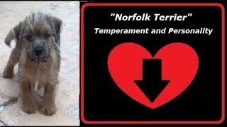 Norfolk Terrier Temperament and Personality