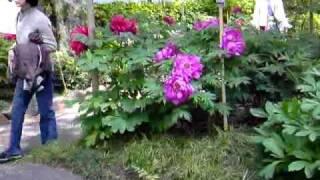東京上野東照宮のぼたん苑2010春