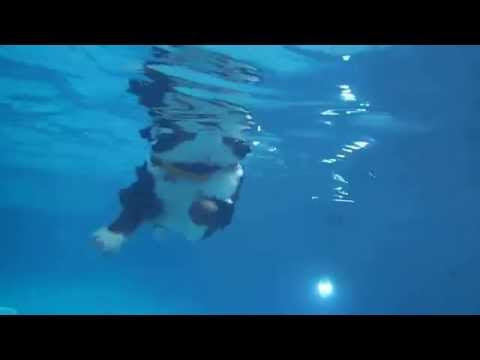 1 year old Bernese Mountain Dog Puppy Swimming in a pool - underwater view