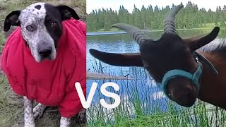 Backpacking / Camping With Goats VS Dogs Trout Fishing Remote High Country Lakes   (Full Trip)