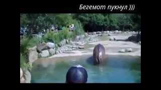 Funny TV !!! Бегемот пукнул))) Сборник приколов))) Видео 2015