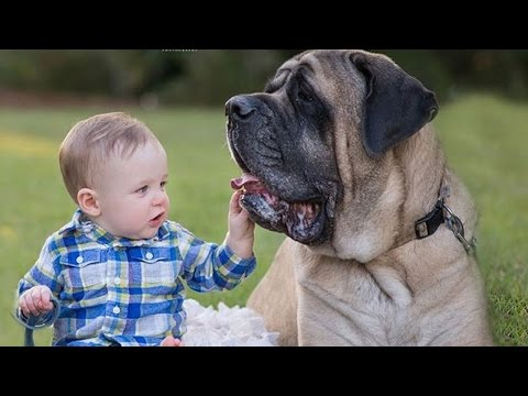 Mastiff Dogs Playing And Protecting Babies Videos Compilation 2016 – Funny Dogs and Babies