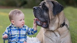Mastiff Dogs Playing And Protecting Babies Videos Compilation 2016  Funny Dogs and Babies