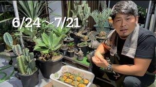 【アカシアブルーブッシュの挿し木】6/24〜7/21 答え合わせです!(後半は雑談してます)
