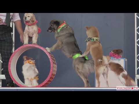 犬 のサーカスがかわいい!柴犬 Dog Circus