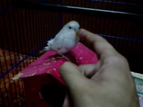 Petting my untamed budgies (taming progress)