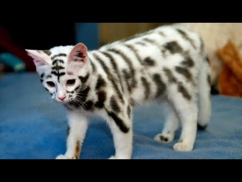 15 MOST EXPENSIVE AND RARE CAT BREEDS
