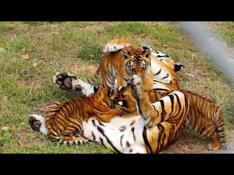 Cute Siberian Tiger Cubs from Bulgaria - Tiger Cubs ...