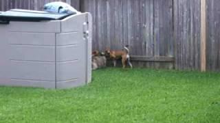 Dexter The Beagle Greyhound Mix