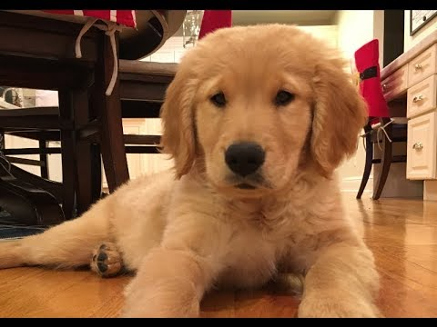 WE GOT A PUPPY!!  Brady The 9 Week Old Golden Retriever
