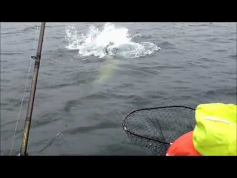Salmon vs Hungry Steller Sea Lion