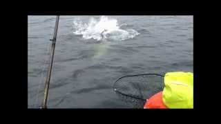 Salmon vs Hungry Steller Sea Lion