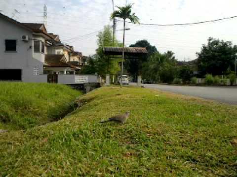 Amat Terkukur - Memikat Di Taman Paroi Jaya Seremb