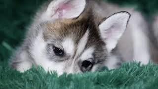 Купить щенка хаски в питомнике