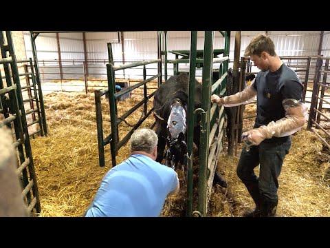 Pulling a BIG Black Angus calf