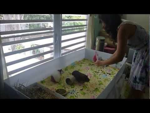 Limpieza diaria y mantenimiento de la jaula de un cobayo (guimo, cuyo) - Sistema tela polar Video 6