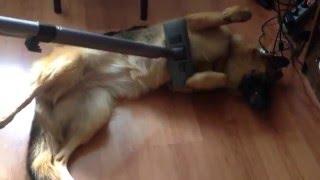 смотреть видео немецкая овчарка кайфует(Научись брать от жизни всё, как немецкая овчарка Вита =), 2016-03-26T17:07:38.000Z)