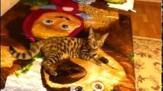 Смешные кошки. котёнок веселится 3 месяца