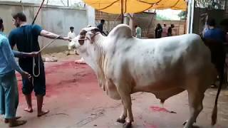 Great Cow Qurbani by Experts |Bakra Eid 2018