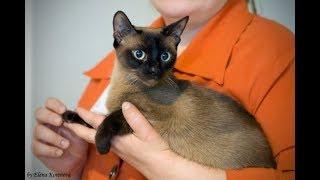 Тонкинская кошка, Тонкинез