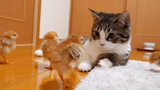 Kitten Coco is attacked by tiny chicks