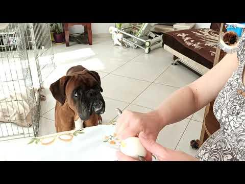 Boxer dog eats Easter eggs. Happy Easter.