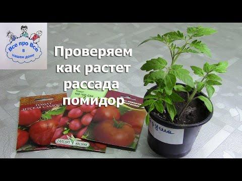 Проверяем как растёт рассада помидор.