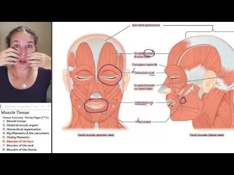 Muscle 6- Muscles of the face