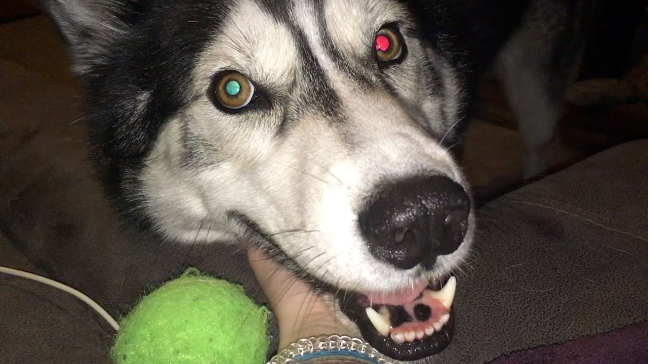 Husky Plays Weird Tag and Fetch