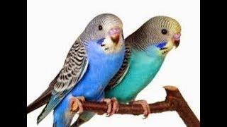 TERBONGKAR !!! Inilah Ciri Ciri Burung Parkit Holland, Burung Spesial