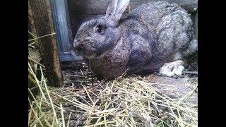 Как вылечить мокрец у кролика //Жизнь в деревне!!!
